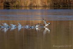 Hoodies(Lophodytes cucullatus) Taking Off (brucegates) Tags: birds canon7d ontario sigma150600 sudbury brucegates hoodedmerganser robinsonlake