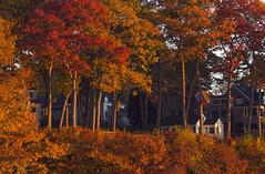 (amy20079) Tags: nikond5100 autumn trees houses neighborhood reds orange lateautumn newengland maine goldenhour leaves light shadows