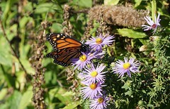 Monarch on aromatic aster (Hematocrit) Tags: aster danausplexippus monarch symphyotrichumoblongifolium