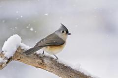 snowy titmouse (G_Anderson) Tags: missouri yard birds birding backyard winter urban snow