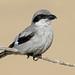 Great Grey Shrike (Nigel Hodson) Tags: canon 300mmf28mkii 2x shrike greatgreyshrike wildlife wildlifephotography nature naturephotography birds birdphotography bird grancanaria