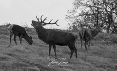 Stag (hussey411) Tags: wildlifephotography wildlifephotographer naturephotographer naturephotography wildlife nature amateur amateurphotographer amateurphotography photographer photography blackandwhitephotography blackandwhite deers deer redstag stag