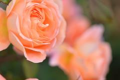 Rose 'Lady Emma Hamilton' raised in UK (naruo0720) Tags: rose englishroses ladyemmahamilton englishrosescollection バラ 薔薇 イギリスのバラ イギリスのバラコレクション nikonscamera sigmalenses sigma150mmf28exdghsm d610 レディーエマハミルトン