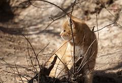 Wall cat (baalands) Tags: great wall china badaling cat gato feline mao kat