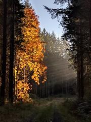 2018-11-24_09-23-24 (cyborgsuzy) Tags: sunrise trees forest pnw bigleafmaple fall colors autumn oregon loggingroad sunbeam fave