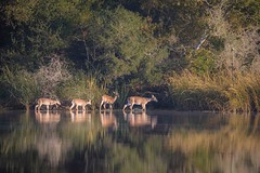 Ladies Of The Lake (gseloff) Tags: whitetaileddeer doe animal feeding wildlife nature water reflection trees mudlake armandbayou pasadena texas kayak gseloff