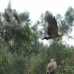 Tawny Eagle (npaprock) Tags: aquilarapax aquila tawnyeagle eagle oromia ethiopia africa raptor scavenger bird