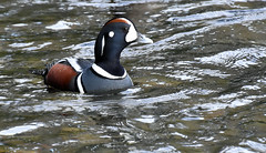 Shapes and colours (Snixy_85) Tags: harlequinduck duck histrionicushistrionicus