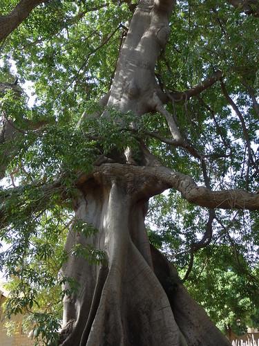 C'est le baobab sacré, symbole de l'entente entre les trois religions de l'île : musulmans, catholiques et animistes