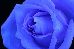 Rosa/azul (Zéza Lemos) Tags: flores flor flowers rosas rosa algarve azul jardim jardins portugal pétalas roseiras roseira vilamoura