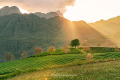 _Y2U3541.1218.Ô Qúy Hồ.Bản Khoang.Sapa.Lào Cai. (hoanglongphoto) Tags: asia asian vietnam northvietnam northwestvietnam landscape scenery vietnamlandscape vietnamscenery vietnamscene sapalandscape nature afternoon sunny sunlight hillside flanksmountain trees teahill canon canoneos1dx canonef70200mmf28lisiiusm tâybắc làocai sapa bảnkhoang ôquýhồ phongcảnh phongcảnhsapa buổichiều nắng nắngchiều nắngsiên đồichè sườnđồi sườnnúi cây maianhđào sunnyafternoon ray rays sunray sky bầutrời
