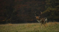 Buck & Autumn Trees (andy_AHG) Tags: wildlife autumn stag fallowdeerbuck antlers ruttingseason animals nikond300s yorkshire