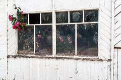 MacArthur (Westographer) Tags: macarthur victoria australia countrytown rural weathered abandoned weatherboards roses windows