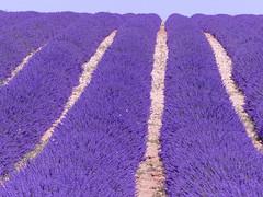 P1800986 (alainazer2) Tags: valensole provence lavande lavanda lavender fleurs flowers fiori champs fields ciel sky