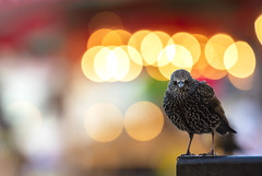 European Starling (Benjamin Joseph Andrew) Tags: bird passerine songbird festive twinkly urban perching season winter one individual opportunist lights