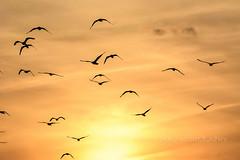 Birds At Sunset (jah32) Tags: sunset sun sunsets sunlight perfectsunsetssunrisesandskys greatlakes thegreatlakes lakeerie lake lakes birds bird seabirds flight orange colour color colours colors colourful light summer summertime summercolours summerskies