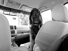 Trading Places (Bennilover) Tags: dog dogs challenge perspective benni labradoodle truck changingplaces 52weeksfordogs funny black nose big