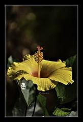 """Don't go through life, grow through life."" _ Eric Butterworth (Ramalakshmi Rajan) Tags: nikon nikond750 nikkor70300mm flowers flower yellow hibiscus inmygarden bangalore nature"