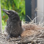 Last chick in the nest thumbnail
