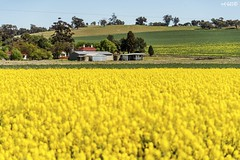 Yellow Backyard (red stilletto) Tags: northeastvictoria dookie canola spring wattle farm farming