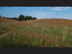 Mohnfeld Poppiefield (Digigigi) Tags: masuren poland polen poppies mohn