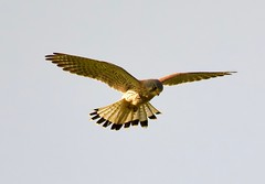 Kestrel (Male) - Taken at Sywell Counry Park, Sywell, Northants. UK. (Ian J Hicks) Tags: