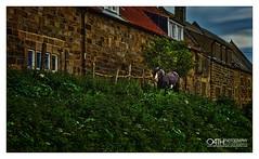 A Village Horse (OATH Photography by Alison Richards) Tags: horse nature wildlife whitby fishingvillage bricks green foliage blue sky terracotta painterly northyorkshire englandunitedkingdom littledoglaughedstories