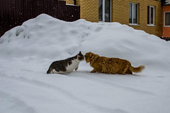 Two cats kiss in the snow (ivan_volchek) Tags: animal animals appearance beautiful cat cats cold color colorful cute domestic domesticanimal domesticcat feline fluffy frost fur furry kitten kittens landscape mammal mammals mustache nature pets season snow snowy white winter