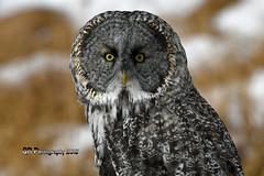Great Gray Owl DSC_5595 (Ron Kube Photography) Tags: owl owls bird birds nature fauna ornithology alberta canada greatgrayowl greatgray southernalberta nikon nikond500 d500 ronaldok strixnebulosa globalbirdtrekkers ronkubephotography