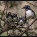 Willie Wagtails: Three Little Heros Ready to Go