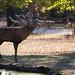 Roaring red deer buck