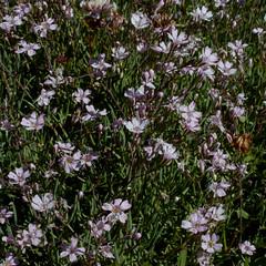 Gypsophila repens (Alpine Gypsophila) (Hugh Knott) Tags: gypsophilarepens alpinegypsophila flora zermatt valais helvetica swiss suisse switzerland alps alpine schweiz