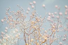 Winter Tulip Poplar (jeanne.marie.) Tags: winter tulippoplar tree turquoise aqua pastel soft abstract nature blur mydailywalk 100xthe2019edition 100x2019 image6100