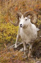 Better Than Full Curl Dall Sheep Ram Against Fall Colors (AlaskaFreezeFrame) Tags: dall dallsheep horns alaska alaskafreezeframe canon 70200mm outdoors nature wildlife mammals mountains fall climbing herbivores agile fullcurl fallcolor autumn portrait closeup august beautiful magnificent majestic posing sheep mammal hiking willow
