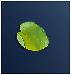 Aquatic Plants #3 2018; Nymphaea Leaf (hamsiksa) Tags: plants flora vegetation aquatic freshwater saintjohnsriver florida volusiacounty deland water waterlillies nymphaea wetlands swamps marshes nature naturalhistory abstract formalist