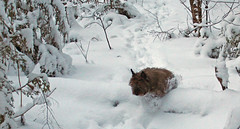 Powder day for Sedum - 1/13/19 (myvreni) Tags: vermont winter snow nature outdoors animals dogs cairnterriers pets