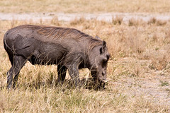 "Warthog _5520 (hkoons) Tags: chobenationalpark firstbridge magweegate mbomaisland southernafrica thirdbridge africa botswana magwee animal beast mammal oink outdoors photography pig piglets pork warthog wildlife ""moremigamereserve"