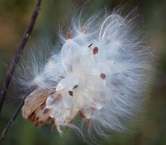 Fluff (kirsten.eide) Tags: nikon macro nature plants