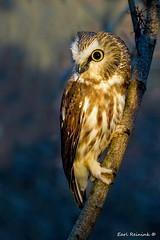 In the spotlight (Earl Reinink) Tags: owl raptor sawwhetowl animal bird light spotlight woods forest tree outdoors nature earlreinink earl reinink eyes riidaaaada
