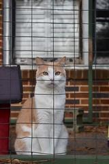 Otis standing proudly (rootcrop54) Tags: otis dilute orange ginger tabby male cat catenclosure catio neko macska kedi 猫 kočka kissa γάτα köttur kucing gatto 고양이 kaķis katė katt katze katzen kot кошка mačka gatos maček kitteh chat ネコ