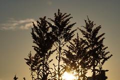 a (Jun.K.H) Tags: weed sunset dusk plant winter japan japanese