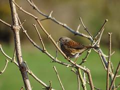 Prunella modularis (M.L Photographie) Tags: bird birds oiseau oiseaux ornitho ornithologie ornithology nature animal wildlife wildlifephoto wildlifephotography sony dschx400v france normandie normandy eure birdie
