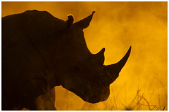 Dusted in Gold (1400x933) (David B Olsen) Tags: white rhino gold light wildlife wilderness mammal animal endangered shamwari safari