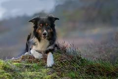 Yatzy (Flemming Andersen) Tags: yatzy nature bordercollie outdoor hund green pet animal bedsted northdenmarkregion denmark dk