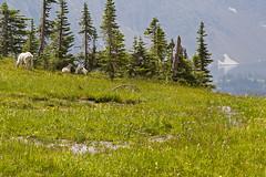 IMG_8457-1 (Debbie Spradley) Tags: montana family vacation troy glaciernationalpark rosscreekcedarsscenicarea kootenaifalls goat sheep marmot ptarmigan celebration hike hiddenlaketrail stmarylake wizardisland lakemcdonald goingtothesunroad
