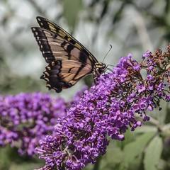 In A Butterfly World (prsavagec) Tags: garden backyard summer july lilacs lilac flowers butterflies butterfly