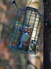 Feeding frenzy (Halliwell_Michael ## Offline mostlyl ##) Tags: brighouse cromwellbottom westyorkshire nikond40x 2018 calderhebblecanal bluetits feeder feeding birds