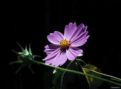 cosmos (Christine_S.) Tags: macro olympus flower pink nature garden japan omd blackbackground mirrorless outdoor em10markiii coth5
