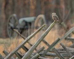 Short-eared Owl (T L Sepkovic) Tags: shortearedowl owl cannon gettysburg history historicplaces civilwar battlefield destinationgettysburg wildlife wildlifephotography creativewildlife canon teamcanon canonusa