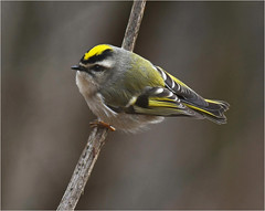 Golden Crowned Kinglet (nomoredarkroom) Tags: goldencrownedkinglet pennsylvania
